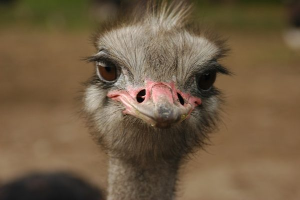 Hate Yourself on Video? Channel Your Inner Ostrich!